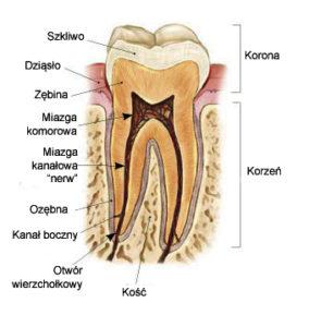 budowa przekrój zęba